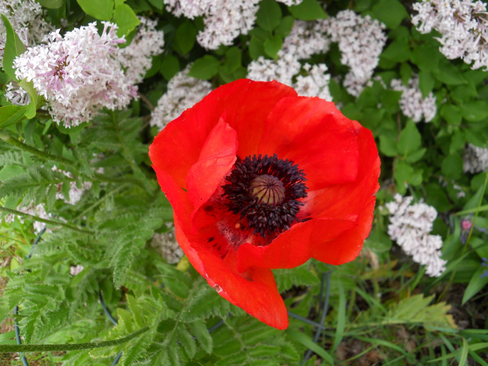 Letters from a hill farm todays poem by mary oliver poppies mightylinksfo