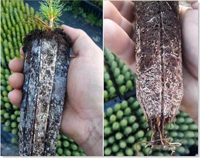 micorrizas en plantones de pino