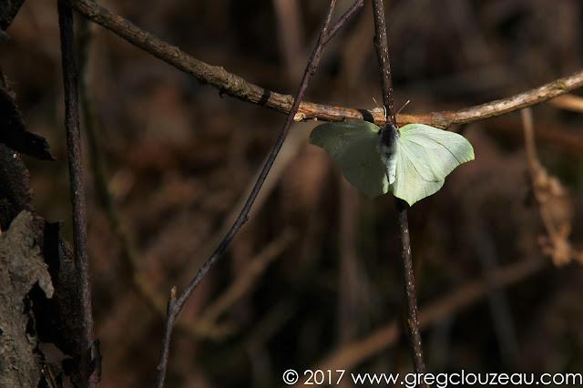 Le citron Gonepteryx rhamni ♀  Forêt de Fontainebleau