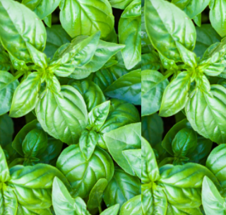 Meaning Of Basil Leaf In Hindi | Theleaf.co