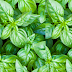 Basil meaning in hindi, Spanish, tamil, telugu, malayalam, urdu, kannada name, gujarati, in marathi, indian name, marathi, tamil, english, other names called as, translation