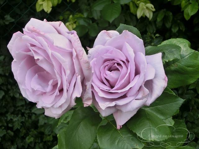 Роза Sissy,розы, розарии, сад и розы
