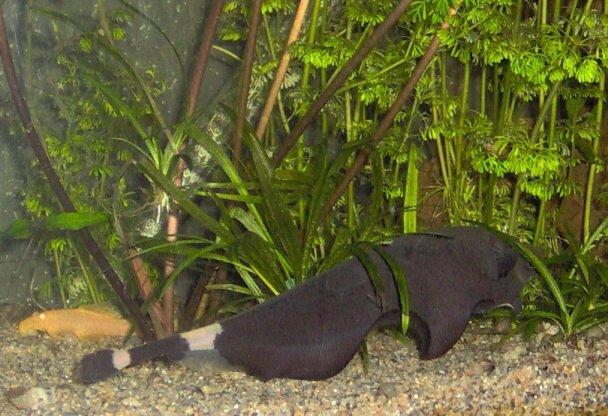 Budidaya Ikan Black Ghost Apteronotus Albifrons Usaha Budidaya Dan Beternak