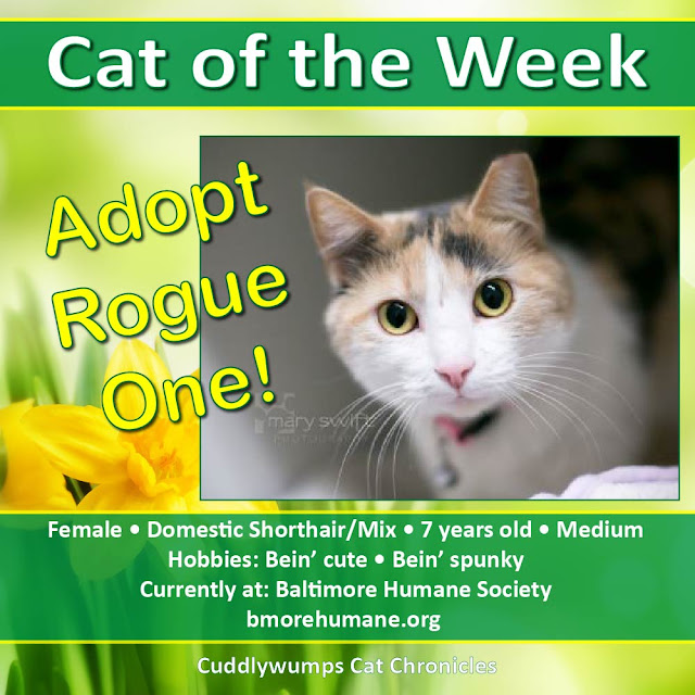 Cat of the Week: Adopt Rogue One!