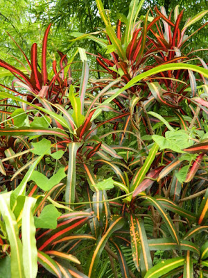 Narrow leaf croton Codiaeum at Orchid World Barbados by garden muses-not another Toronto gardening blog