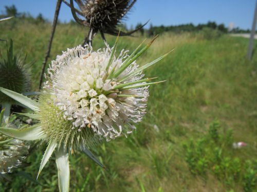 cut-leaf teasel flowers