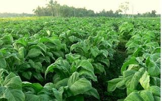 Salah satu bentuk Usaha Pertanian