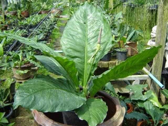 Anthurium adalah tanaman hias daun yang berasal dari Amerika Panduan Lengkap Budidaya  Daun Anthurium