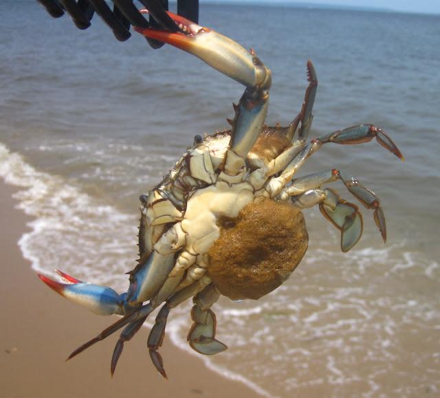 Crab When Pregnant 112