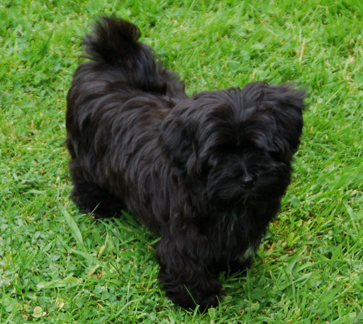 Top 10 Black Dogs Breeds Luv My Dogs