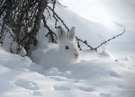 A rabbit during winter.
