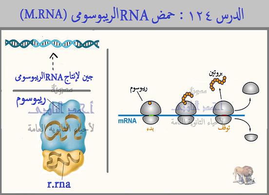 حمض  RNA الريبوسومى  ( r-RNA ) -  الثالث الثانوى - الريبوسومات - تحت الوحدة ا لكبرى - تحت الوحدة الصغرى