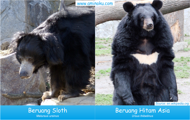 Perbedaan beruang sloth dan beruang hitam asia