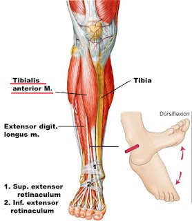 tibialis anterior muscle, anatomy, muscle picture