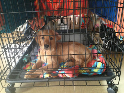 Young puppy staying calm in its crate with the door closed