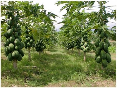 Tips agar pohon pepaya pendek dan berbuah lebat