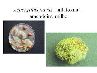 aspergillus flavus no amendoim