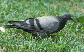 pigeon, rock dove