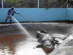 Lolong taking a bath