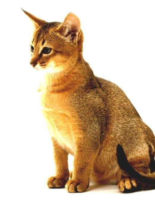 Abyssinian Cat Breeders Near Me