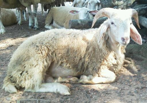 Awassi Sheep - Awassi Fat Tail Sheep Breeder: 2012
