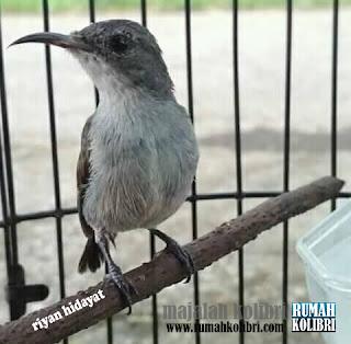 setingan betina kolibri ninja