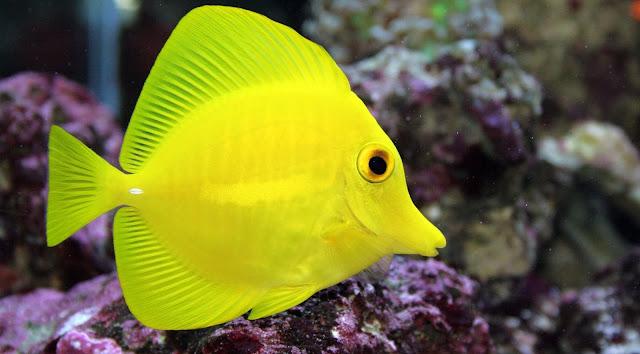 Gambar Ikan Yellow Tang - Budidaya Ikan
