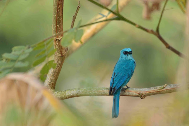 Verditer Flycatcher Birds of samshernagar sundarban tourism