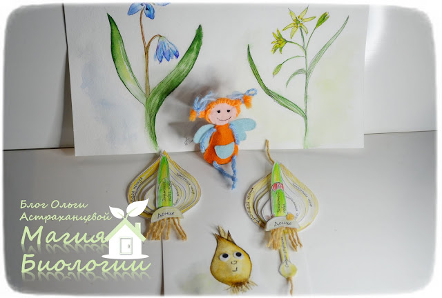 луковичные-растения-строение-луковицы-модель