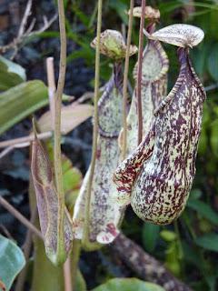 Photos de plantes carnivores : Nepenthes rafflesiana