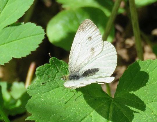 Bielinek rzepnik (Pieris rapae syn. Artogeia rapae).
