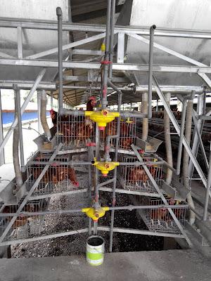 kandang ayam petelur semi otomatis