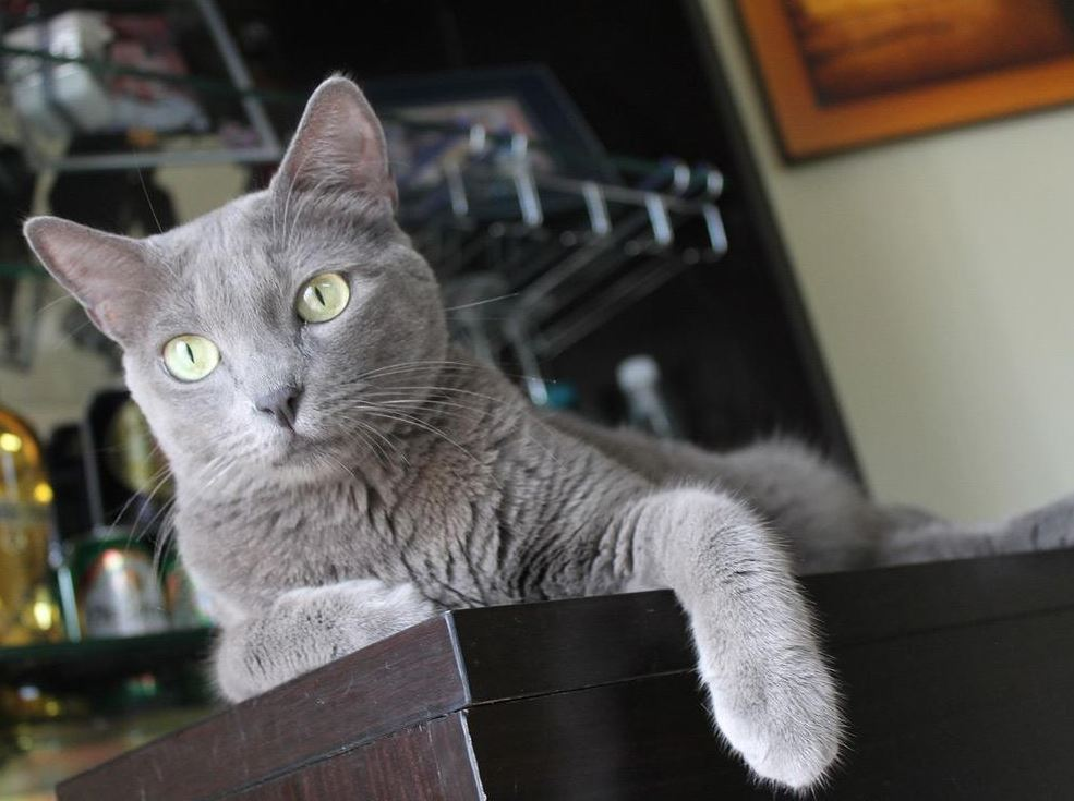 Character of Russian Blue Cat