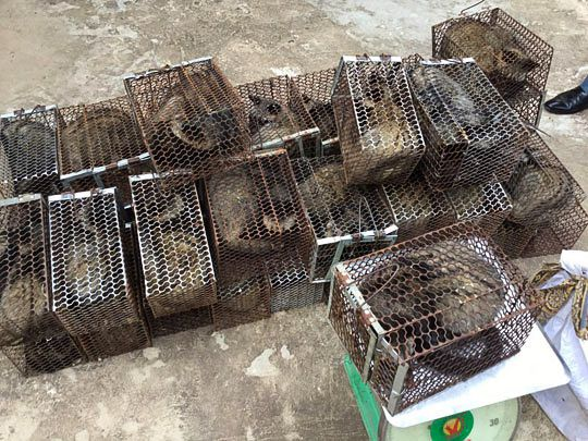 Caged civets sit on the ground in Kandal province yesterday after they were seized by the authorities during a crackdown. Photo supplied