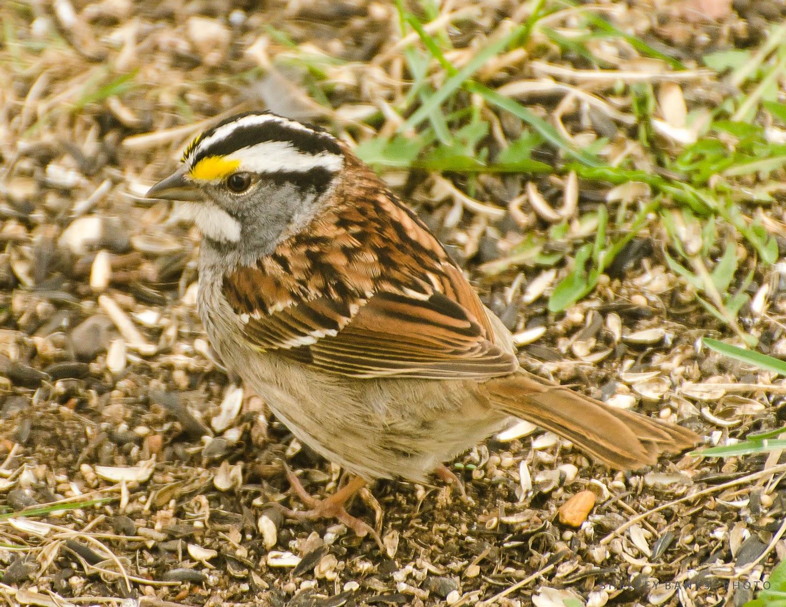 Prairie Nature WhiteThroated Sparrow Canada Songbird