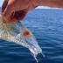 Ikan Transparan Ada Ternyata, Ikan ini Transparan Seperti Kaca Saja, Lihatlah!