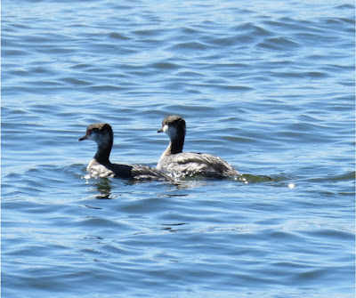 Two Horned Grebes, in non-breeding plumage, sit together on the Potomac River
