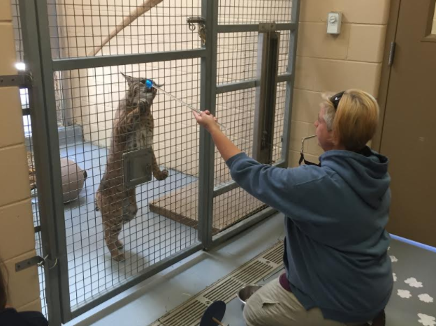Bobcat training standing on hind legs at Cosley Zoo.