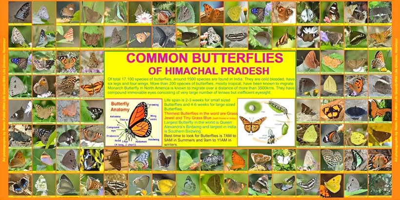 "Lot of us explore different places in search of peace, heritage, hills, beaches, cultures, food and lot more. But have you ever of anyone who visit places in search of Butterflies. Yes, you read it right. Today I am sharing about another inspiring explorer who goes to different parts of Himachal Pradesh to meet various butterflies and study them.   Today I am sharing abut Reetu Patial who is a Wildlife professional in Himalayan State of India – Himachal Pradesh. She has a unique hobby of finding different types of Himalayan Butterflies and capture them in her camera. When I asked how it started and what you want to do - ""When I started wildlife job and met lot of conservation experts. Butterflies seemed very special to me and especially butterflies of Himachal Pradesh. I have been able to find 150 of them and will continue to discover more. I feel that I need to know lot more to find next set of butterflies. Understanding their habitat and other characteristics can guide me better. So far, I have been doing this search without any strategy but now more knowledge and strategy is required."""