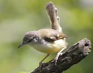 Cara Tepat Mengatasi Burung Ciblek Jarang Bunyi