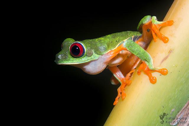 Red-eyed Treefrog - Agalychnis callidryas