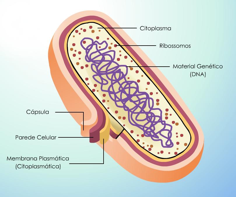 Esquema de uma célula procarionte