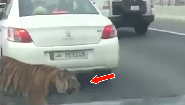 Tiger on the Qatar Expressway