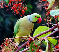 Tenali Raman and the Talking Parrot, the parrots plight