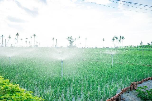Khu vực trồng tỏi tại đảo Lý Sơn
