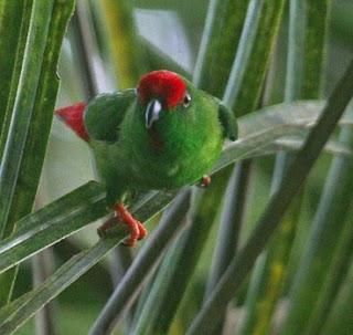 Mengenal Dekat Jenis Dari Burung Serindit Sulawesi Paling Lengkap