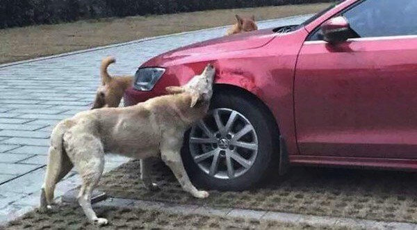 Man Kicks A Dog; Then The Dog Comes Back With Friends And Destroys His Car While He's Away