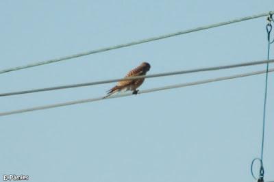 Xoriguer (Falco tinnunculus)
