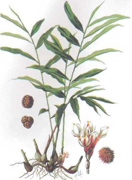 Sa nhân - Amomum xanthioides - Nguyên liệu làm thuốc Chữa Bệnh Tiêu Hóa