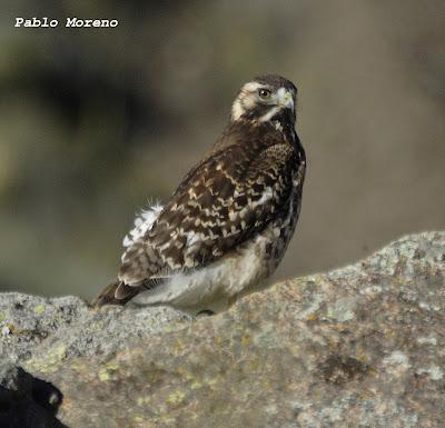 "alt=""aguilucho comun,Geranoaetus polyosoma,aves de Mendoza"""